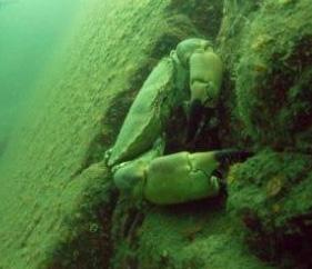 natur_krabba
